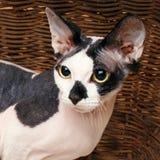 Sphynx katter inom en träkorg som ser upp Royaltyfri Fotografi