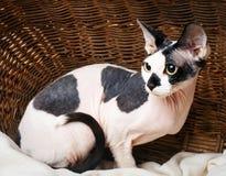 Sphynx katter inom en träkorg som ser upp Fotografering för Bildbyråer