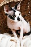 Sphynx katter inom en träkorg som ser upp Royaltyfria Foton