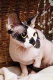 Sphynx katter inom en träkorg som ser upp Arkivfoto