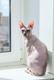 Sphynx kattsammanträde på fönsterfönsterbräda Royaltyfri Fotografi