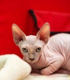 Sphynx kattunge Arkivfoto