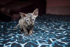 Sphynx kattunge på en blå bakgrund Arkivbilder