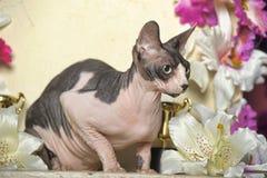 Sphynx-Katze Lizenzfreie Stockfotos