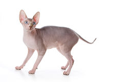 Sphynx Katze Stockfotografie