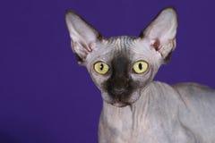Sphynx Katze Lizenzfreie Stockfotografie