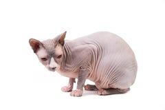 Sphynx-Katze auf weißem Hintergrund lizenzfreie stockfotos