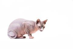Sphynx-Katze auf weißem Hintergrund lizenzfreies stockfoto