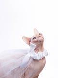 Sphynx-Katze auf weißem Hintergrund im Brautschleier stockfoto