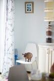 Sphynx-Katze im Kücheninnenraum Lizenzfreie Stockfotografie