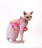 Sphynx-Katze im rosa Kleid auf weißem Hintergrund stockbild