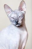 Sphynx Katze Stockfotos