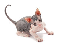 Sphynx kitten Stock Images
