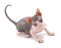 Sphynx Kitten Stock Images