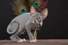 Sphynx kitten Royalty Free Stock Photography