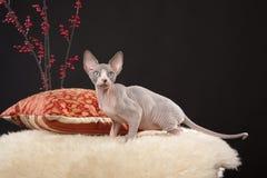 Sphynx kitten Royalty Free Stock Photos