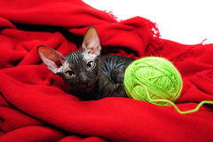 Sphynx kitten Stock Image