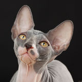 Sphynx kitten Stock Photos