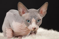 Sphynx kitten Royalty Free Stock Photos