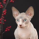 Sphynx kitten Royalty Free Stock Images