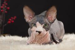 Sphynx kitten Stock Image