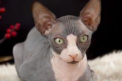 Sphynx kitten Stock Photo