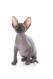 Sphynx kitten. With white background stock photos