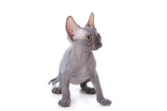 Sphynx kitten. With white background Stock Image
