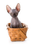 Sphynx kitten. In basket with white background royalty free stock image