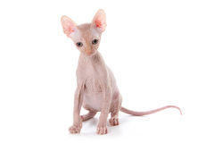 Sphynx kitten. With white background Royalty Free Stock Photos