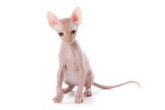 Sphynx kitten. With white background royalty free stock photos