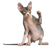 Sphynx kitten, 4 months old, sitting Royalty Free Stock Photography
