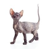 Sphynx kitten or cat isolated Royalty Free Stock Image