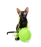 Sphynx kitten with a clew Royalty Free Stock Images