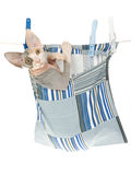 Sphynx kitten in clothes peg bag. Cute Sphynx kitten sitting inside peg back hanging from washing line, on white background stock image