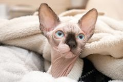 Sphynx kitten lying in blankets. A mink colored hairless Sphynx kitten with blue eyes lying in a bed of warm blankets royalty free stock photo