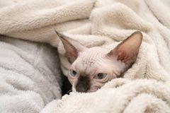 Sphynx kitten lying in blankets. A mink colored hairless Sphynx kitten with blue eyes lying in a bed of warm blankets royalty free stock photos