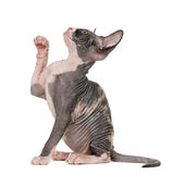 Sphynx kitten pawing up Royalty Free Stock Image
