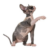 Sphynx kitten pawing up Stock Photo