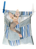 Sphynx kitten in peg bag on white background Stock Images