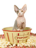 Sphynx kitten in popcorn bowl on white background Stock Photography