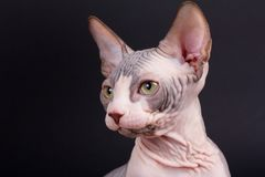 Sphynx kitten portrait Stock Image