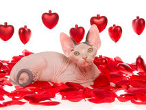 Sphynx kitten on rose petals with red hearts. Cute hairless Sphynx kitten lying on red rose petals with shiny red hearts, on white background stock image