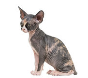 Sphynx kitten sitting and looking away Stock Photo