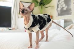 Sphynx kitten wearing sweater. A mink colored hairless Sphynx kitten with blue eyes standing on a bed, wearing a black and white sweater royalty free stock image