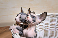 Sphynx Kittens Inside a Basket Looking Up Stock Photos