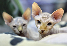 Sphynx kittens stock photos