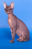 Sphynx kot na błękitnym tle obraz stock