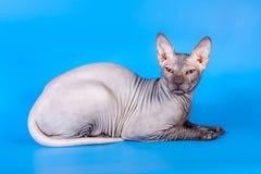 Sphynx kot na błękitnym tle zdjęcia royalty free