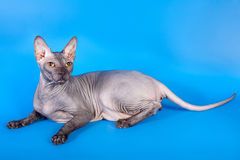 Sphynx kot na błękitnym tle obrazy royalty free